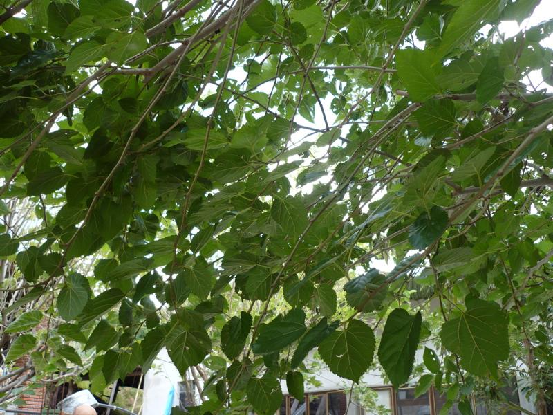 Silkworms In Oaxaca Oaxaca Cultural Navigator Norma