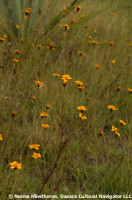 WildMarigolds-3