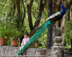 Peacocks-25